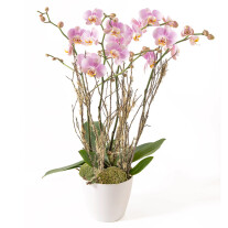 light pink phalaenopsis plant (4 stems)